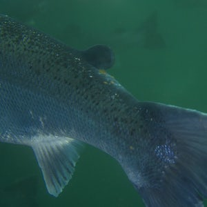 Imenco Aquaculture - see the sea lice - salmon lice